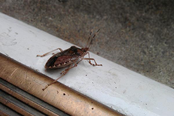 stink-bugs-invading-again_3c319e053c97e88dfa1752f2f7f91542_3x2_jpg_600x400_q85