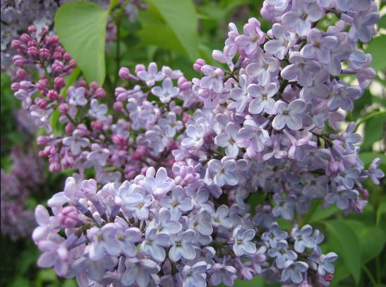 Diez enanos arbustos que cambiarán la forma en que el jardín - P. Allen Smith