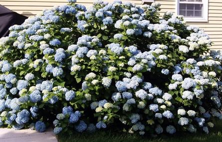 Hydrangeas A Gardener S Pride And Pain Winterberry Gardens