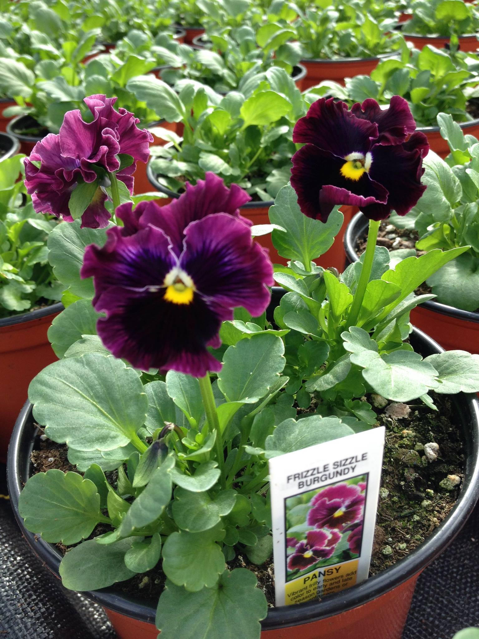Winterberry Grown Pansies