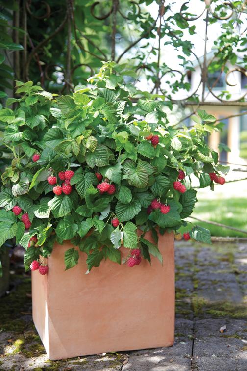 BrazelBerries Raspberries