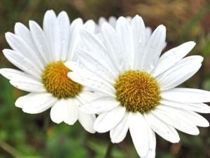 perennial_shasta-daisy-becky