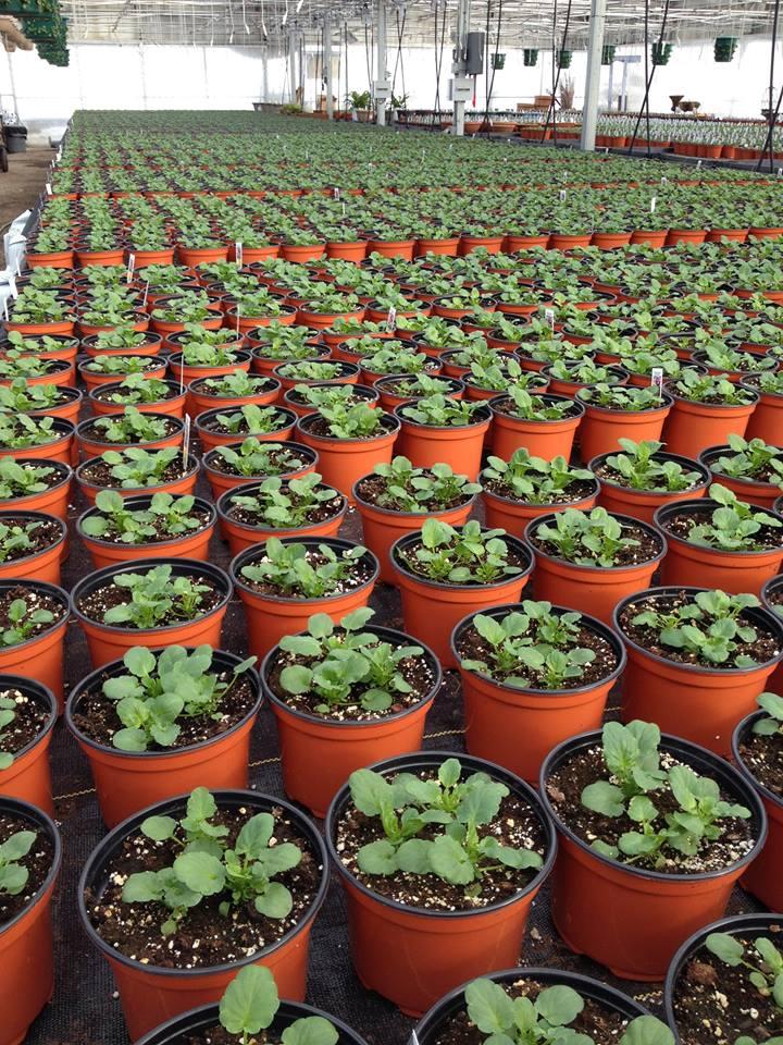 winterberry gardens pansies